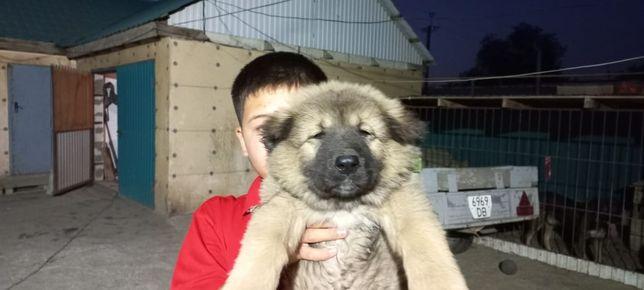 Продам щенка собаки