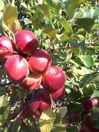 Продаются яблоки!!!оптом