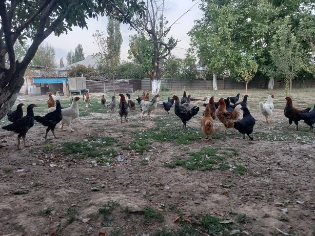 Продаётся цыплята