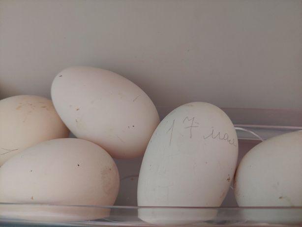 Продам яйцо гусиное инкубационное
