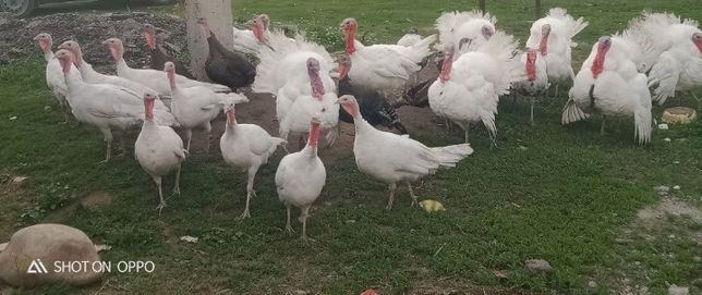 Продам индюков порода белая широкогрудая( индейка)