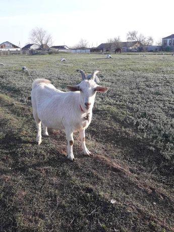 Продаю зааненских дойных коз и 7 мес козла