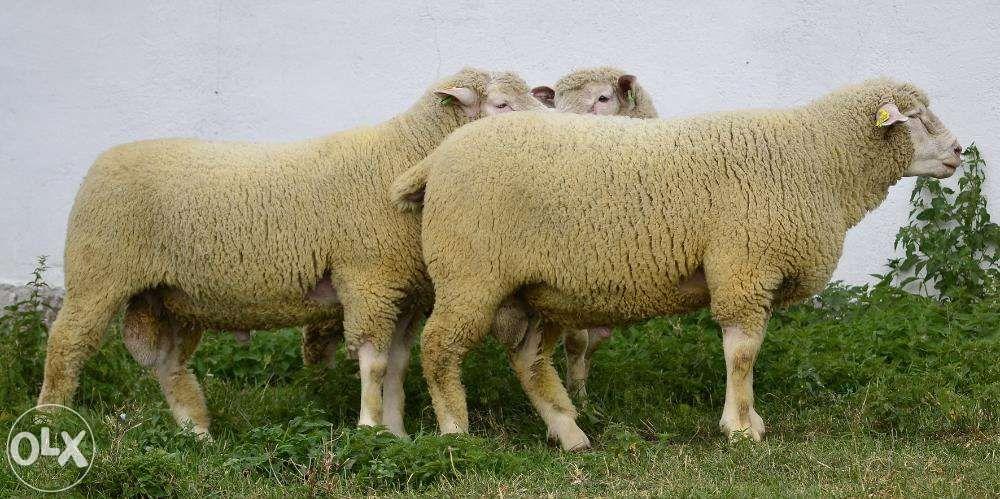 Berbeci de rasa de carne Ile de France Tasnad - imagine 1