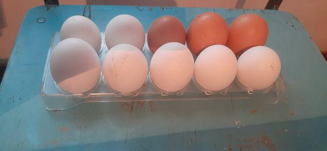 Продам домашний Яйцо