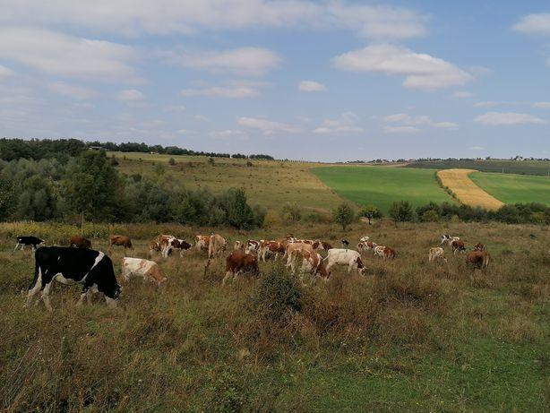 Vaci și junele pe alese