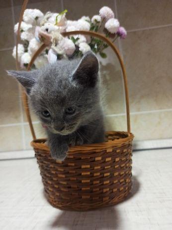 Продам котят британской породы