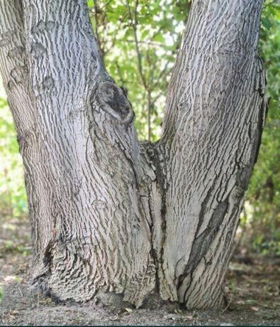 Продам огромнейшее ценное дерево грецкого ореха 40лет для мебельщиков