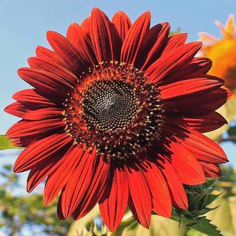 Semințe floarea soarelui ornamentală roșie