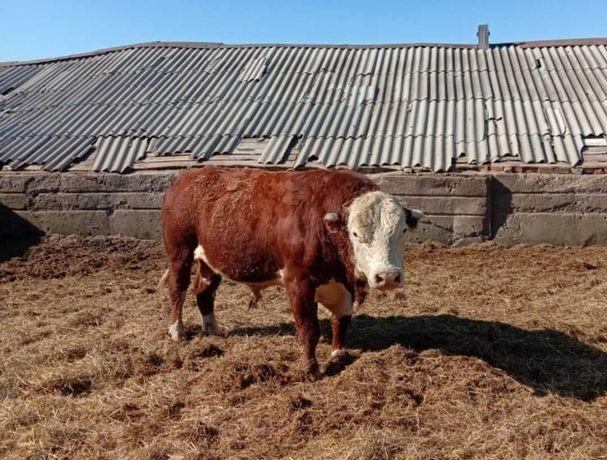 Телята бузау бычки коровы акбас еркек урхашы ангус сементал бузалар