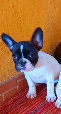 Cătelusă bulldog francez