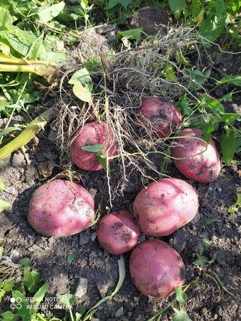Продам картофель домашний свежий этого года