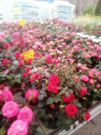 Vindem trandafiri pitici si afine la ghiveci