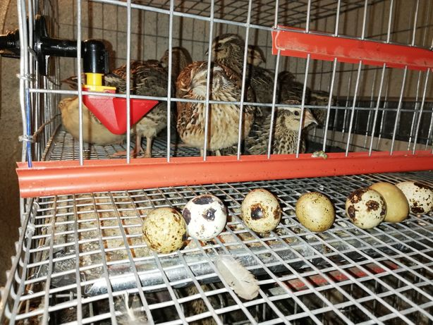 Oua și pui de prepelita