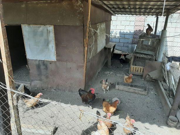 Домашние курица 3500 тг