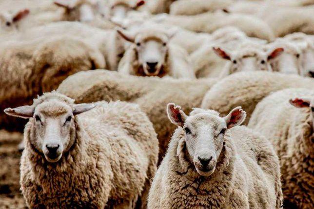 Продам овец баран