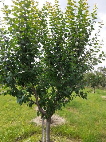 Vind teren cu pomi fructiferi.