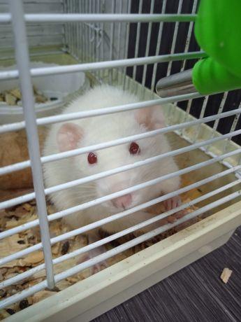 Крыса дамбо (бесплатно)