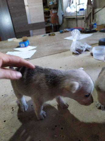 Отдадим щенков в хорошие руки