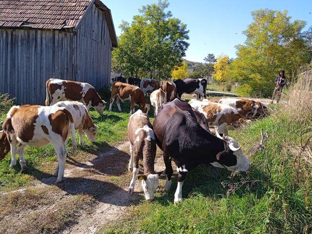 Vând vaci tăorasi și vițele