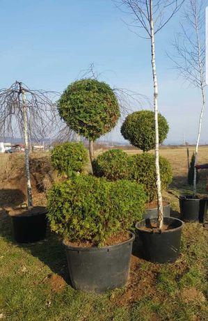 Plante ornamentale de talie mare