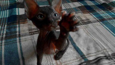 Жулиан - котенок Донского Сфинкса выставочного класса