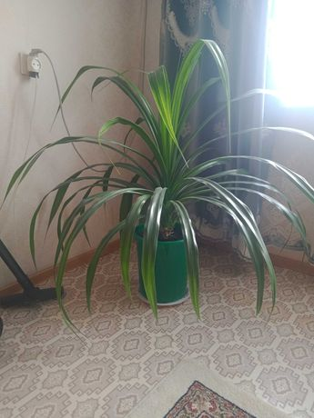 Продам комнатный цветок