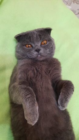 Продам британского вислоухого кота
