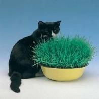 AVENA sativa - Iarba pisicii - 6grame