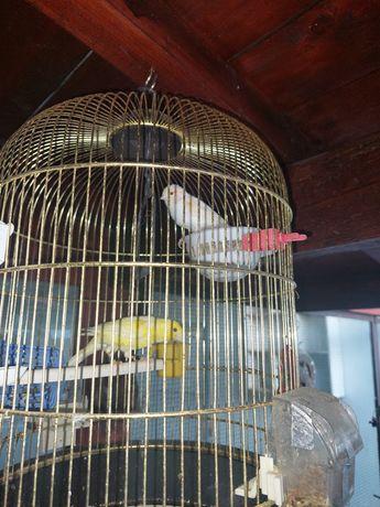 Vând canari pereche