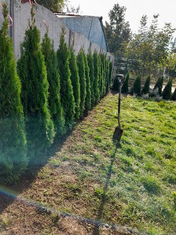 Plante ornametale catalpa platani globulare pini tuia smarald