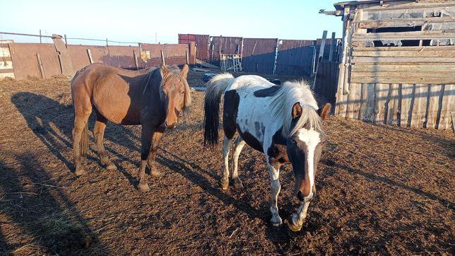 Бие байтал лошадь конь тай мясо ет соғым