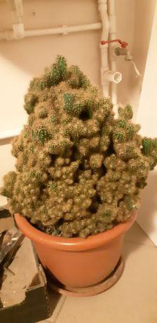 Vand cactus  ghiveci