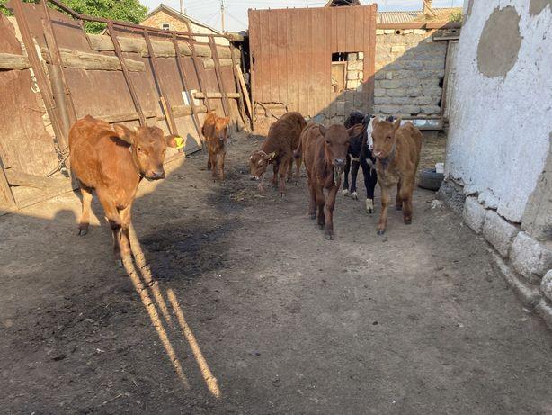 Продаю теленок