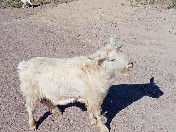 Породистый козёл
