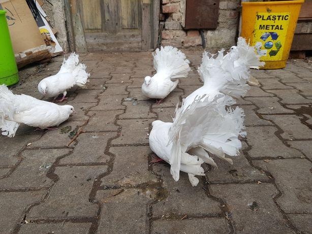 VAND Porumbei rotați(curcani) 100 Lei