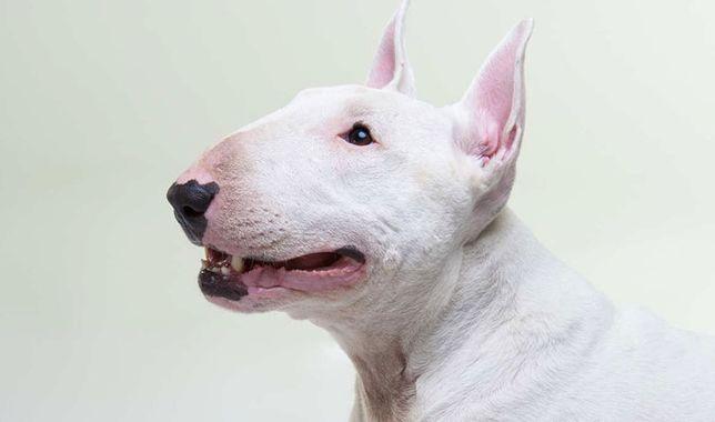 Cazare vacanta /concediu pentru un caine bull terrier-Pensiune canina