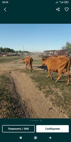 Продаются коровы и телочка