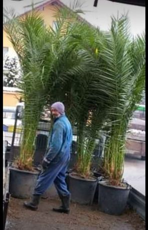 Palmieri fenx si cicas rezistenti iarna