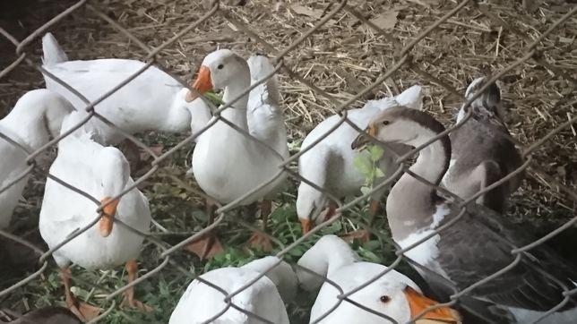 Продам гусей домашних
