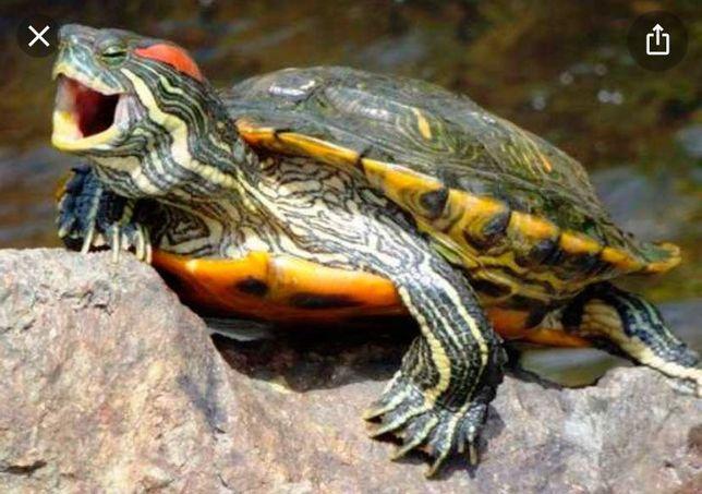 Хищная Водная Черепаха