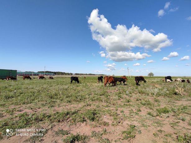 Коровы дойные, оптом по 350 тыс