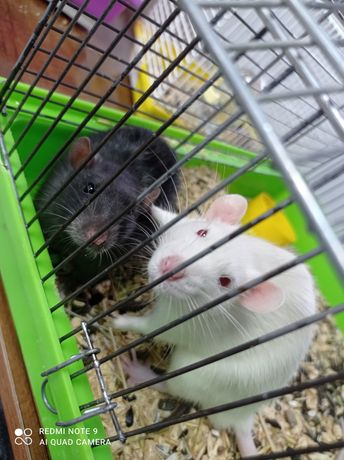 Крыс самец в наличии