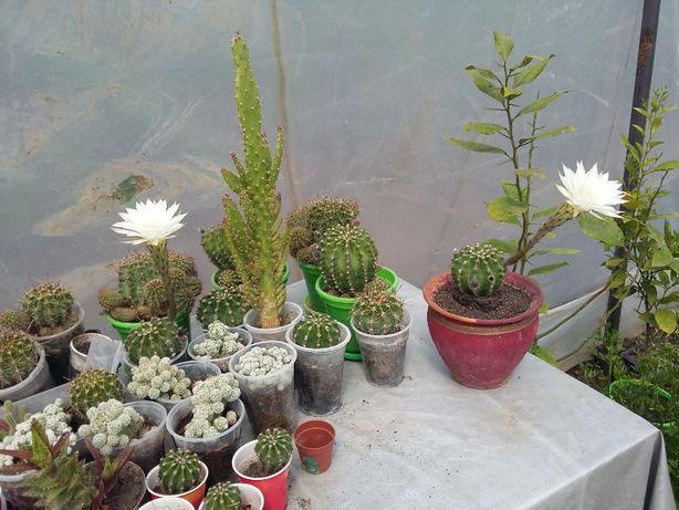 cactusi cu flori albe