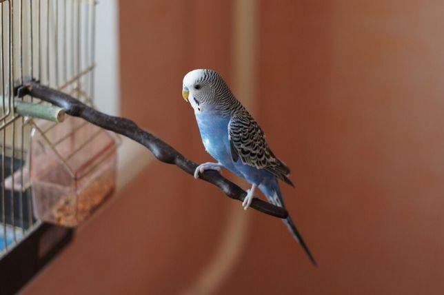 Красивый волнистый синий попугай с клеткой
