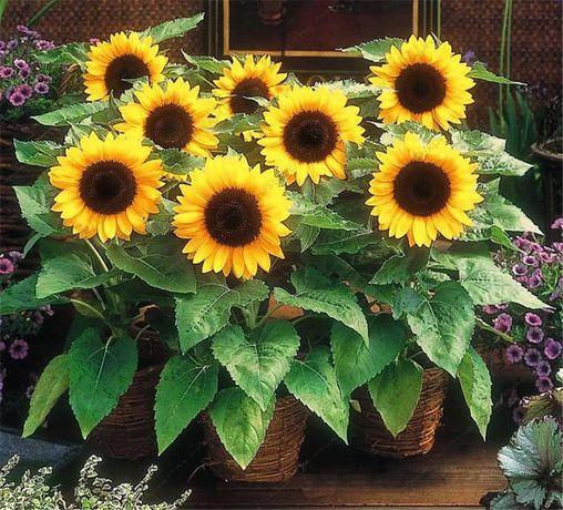 Semințe floarea soarelui ornamentală pitica