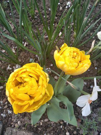 Bulbi Lalele parfumate Olanda și româneșt,narcise albe și galbene,