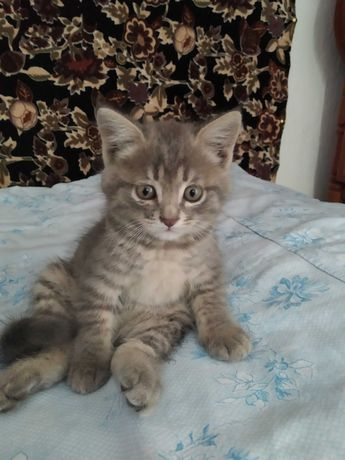 Котёнок (воз. породистый)