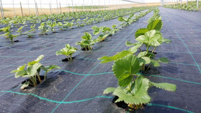 FOLIE AGROTEXTIL Neagra, 100gr/mp, Patrate cu Verde, Garantie 7-8 ani