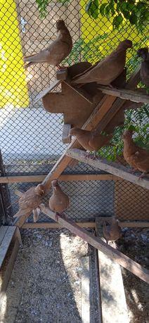 Продам голубей домашних.