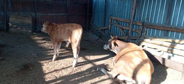 Корова с теленок